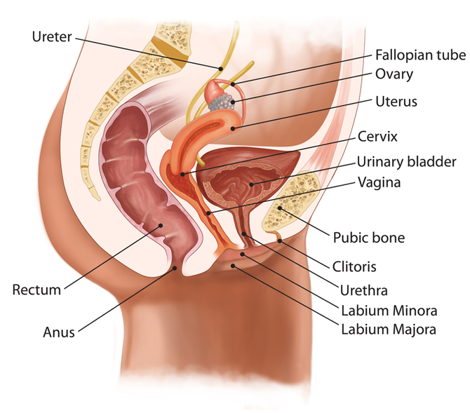 One vaginal uler